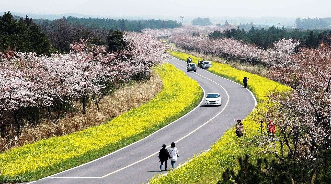 鹿山路上油菜花和樱花相互映衬,是「韩国100条最美道路」之一